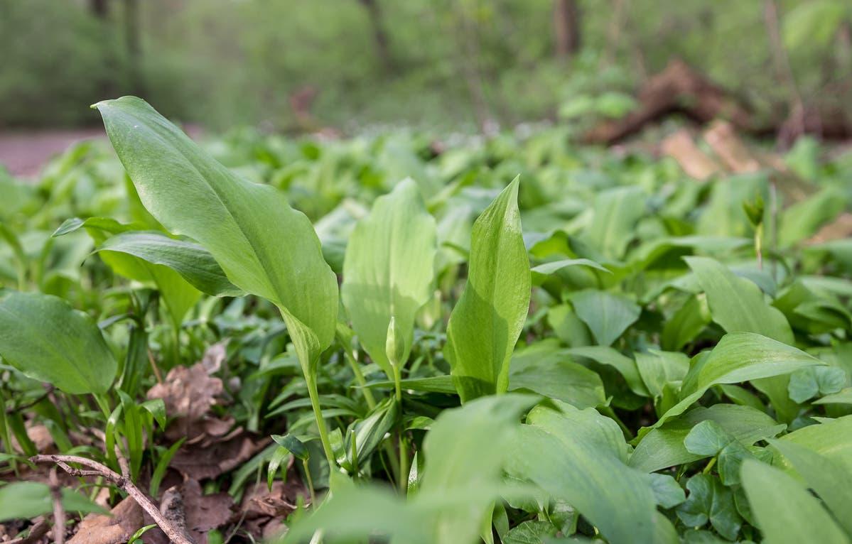 Frischer Bärlauch im Wald | Selbstgemachtes Bärlauchpesto - im Wald den Frühling einfangen