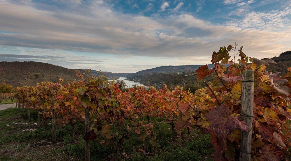 Weinberge im Mittelrhein mit rot-braunen Blättern