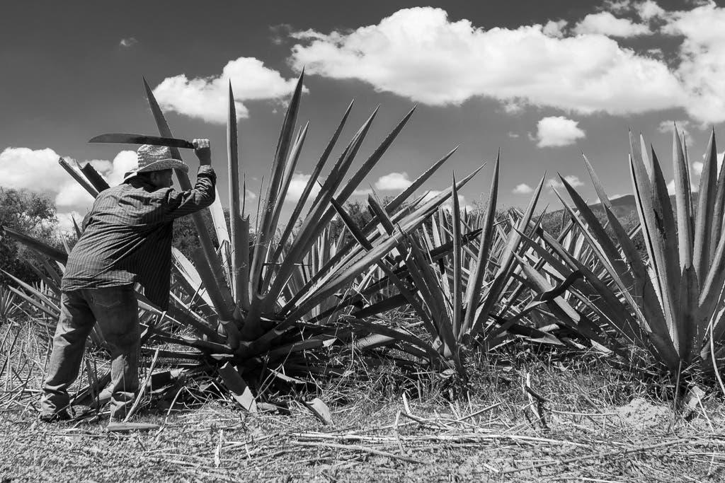 Mann schlägt Aloe Vera Pflanze Triebe ab