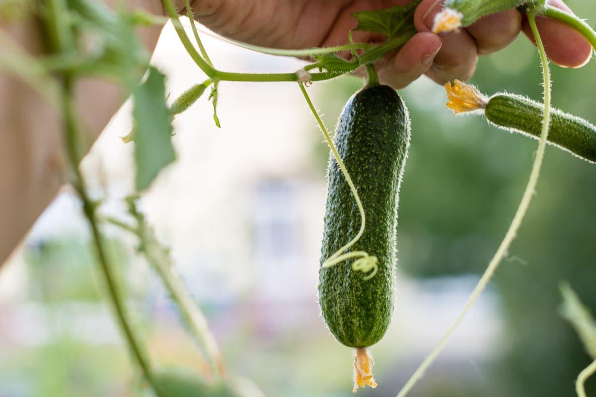 Kleine, selbstgezüchtete Gurke an Pflanze