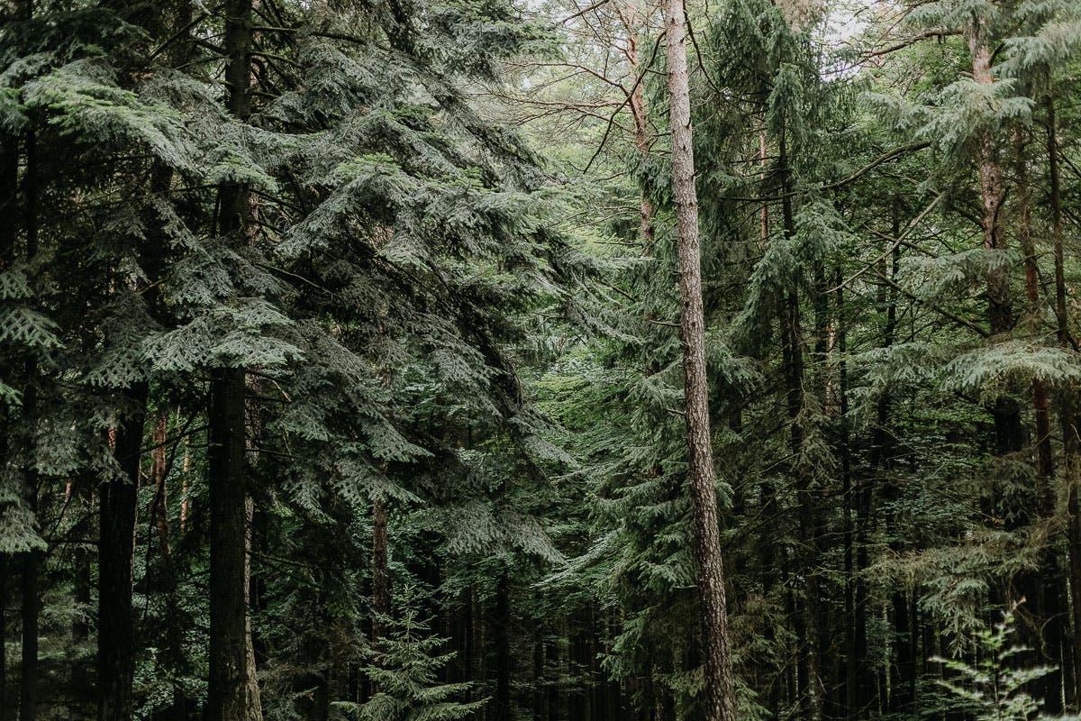 Wald voller Nadelbäume